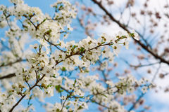 Cherry spring flowers Royalty Free Stock Photos