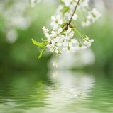 Cherry spring flowers Stock Image