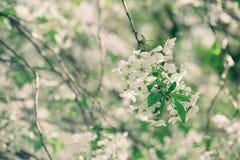 Cherry spring flowers Stock Photos