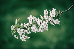 Cherry spring flowers Royalty Free Stock Photography