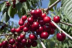 Cherry stänger sig upp royaltyfri bild