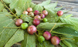 Cherry or Takb in thailand. Fresh cherries  or Takb in thailand on wooden table Royalty Free Stock Image