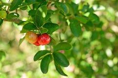Cherry Thailand immagini stock