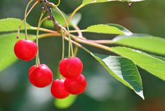 Cherry to the branch of the tree in June Stock Photography