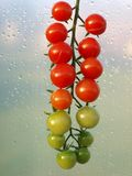 Cherry tomato. The bunch of cherry tomato, close up Stock Image