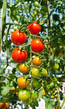 Cherry tomato. Red and green cherry tomato in a garden Royalty Free Stock Photography