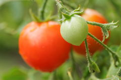 Free Cherry Tomato Stock Image - 4501691