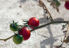 Cherry Tomato Photographie stock libre de droits