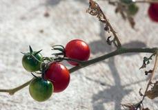 Cherry Tomato Fotografía de archivo libre de regalías
