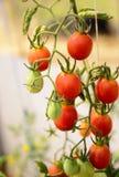 Cherry Tomato Lizenzfreies Stockbild