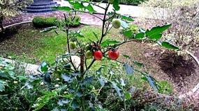 Cherry Tomato Fotografie Stock Libere da Diritti