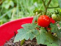 Cherry Tomato auf Rebe im Pflanzer Stockfotos