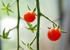 Cherry tomato on bed Stock Photo