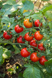 Cherry tomato on branch Stock Images