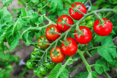 Cherry tomato branch Royalty Free Stock Images