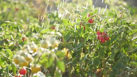 Cherry tomato cabbage with orange and red fruits Fresh water water the plants. Cherry tomato cabbage with orange and red fruits Fresh water water plants stock video footage