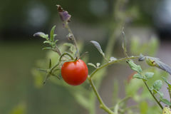 Cherry tomato Stock Image