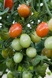Cherry tomato cluster in the garden Royalty Free Stock Photography
