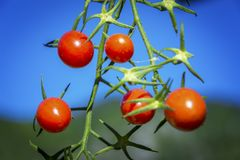 Cherry tomato. Detail of tomatoes on a blue background Royalty Free Stock Photography