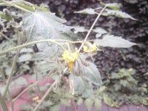 Cherry Tomato Flower Imagen de archivo