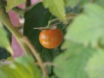 Cherry tomato focused royalty free stock photography