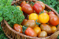 Cherry tomato. Fresh fruit in to the basket with different colors, harvesting from home vegetable garden Royalty Free Stock Image