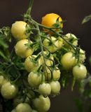On the branches of the bushes ripen cherry tomatoes. The cherry tomato grains ripen on the bush with leaves Royalty Free Stock Photography