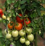 On the branches of the bushes ripen cherry tomatoes. The cherry tomato grains ripen on the bush with leaves Royalty Free Stock Images