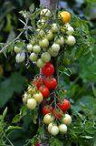 On the branches of the bushes ripen cherry tomatoes. The cherry tomato grains ripen on the bush with leaves Stock Photography