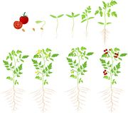 Cherry tomato growing stage stock illustration
