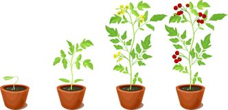 Cherry tomato growing stage royalty free illustration