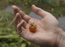 Cherry tomato in hand Royalty Free Stock Images