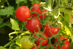 cherry tomato harvest Stock Photos