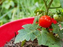 Cherry Tomato na videira no plantador Fotos de Stock