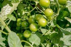 Cherry Tomato op de wijnstok nog groen en klaar te rijpen stock foto's