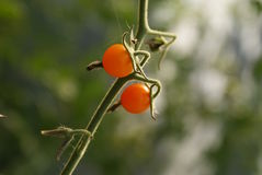 Cherry Tomato Pair Fotografia Stock