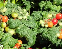 Cherry tomato plant Stock Photo