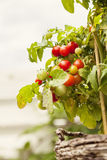 Cherry tomato plant. Image of a cherry tomato plant Stock Images