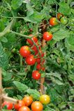 Cherry tomato plant. Stock Photography