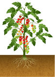 Cherry tomato plant with root under the ground stock illustration