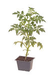 Cherry tomato seedling ready for transplanting Stock Photo