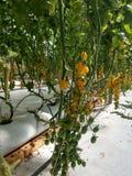 Cherry tomato royalty free stock photography