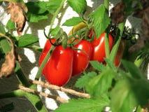 Cherry tomato Stock Photos