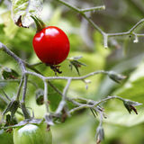 Cherry tomato on vine. A bright red cherry tomato on the vine, ready harvesting Stock Images