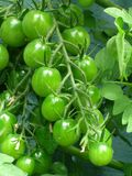 Cherry Tomato Vine. A bunch of green cherry tomatoes on the vine Stock Photos