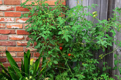 Cherry Tomato Vine Stock Photo
