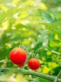 Cherry tomato. Stock Image