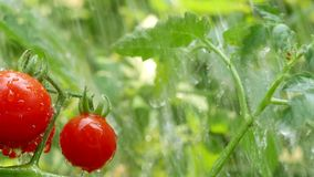 Cherry tomato with water drop. Pan camera stock video
