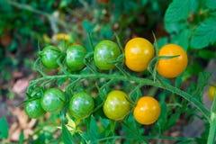 Cherry Tomatoes Images libres de droits