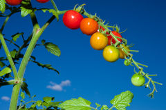Cherry Tomatoes. In an outdoor garden Royalty Free Stock Image